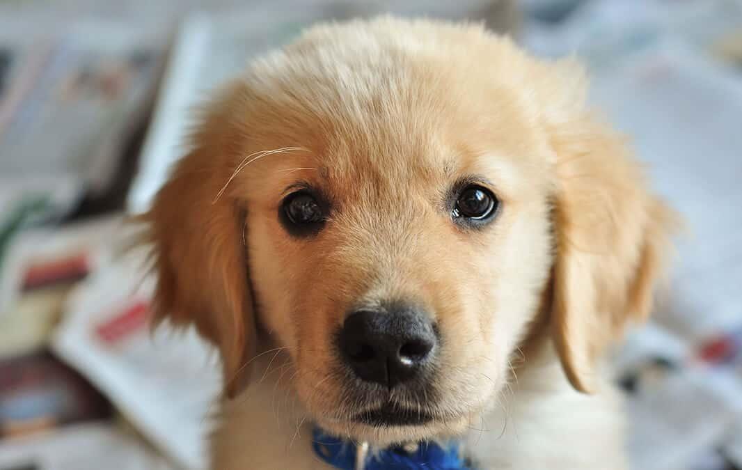 Closeup of cute golden retriever puppy